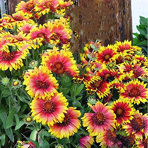 Keshang Alta tasa de Supervivencia,Crisantemos Naturales, Semillas perennes, Semillas Resistentes al frío_600PCS,perenne