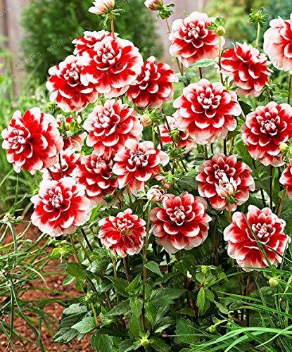 Sump Fresh 50 piezas de semillas de flores de dalia para plantar rojo