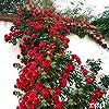 Semi di Rosa - Semi di Rosa rampicante, Rosa Multiflora, Decorazione domestica perenne fiore profumato, 100 PZ (Color : Red) #1