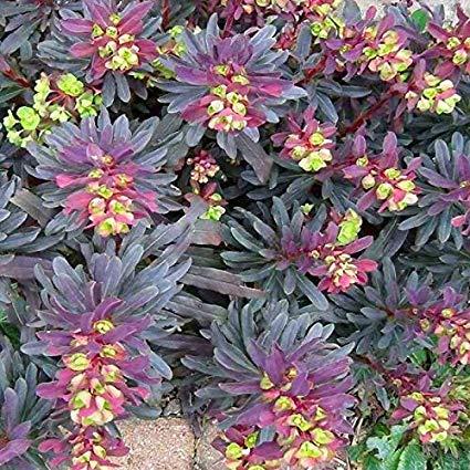 Euphorbia amygdaloides 'Purpurea' 15 Samen, Mandel Wolfsmilch