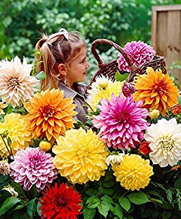 Cicitar Garden - 50pcs Rare Dahlia variabilis 'Giant Hybrids Mixed' Mixture, Huge Flowered, semi-Double, Hardy Perennial Flower Seeds for Gardening Flowers Bowls, tubs and pots