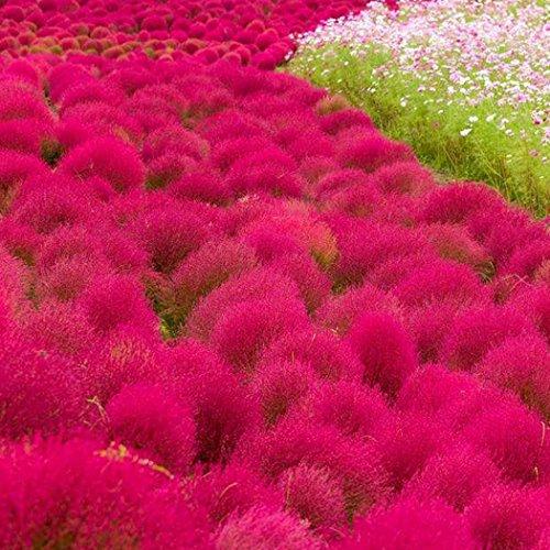 Beautytalk-Garten 200pcs Rasensamen Kochia Scoparia Samen Wild Rasen Ziergras Samen Bärenfellgras Samen Bodendecker winterhart mehrjährig