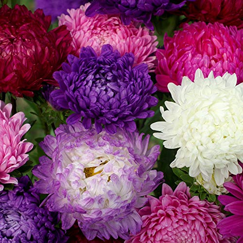 Outsidepride Paeony Aster Seeds Mix - 1000 Seeds