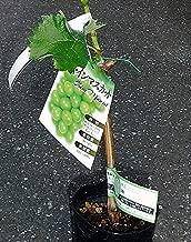 ブドウ:シャインマスカット挿木苗4~5号ポット[晩生大果・大人気!果樹研究所育成] ノーブランド品