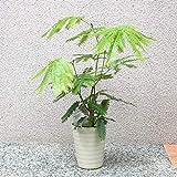 エバーフレッシュ(アカサヤネムノキ) 観葉植物 小型 5号プラスチック鉢(鉢底からの高さ:約60cm/葉張り:約40cm)【品種で選べる観葉植物・リビングやオフィスの窓辺向きサイズ/1個】涼し気な明るいグリーンの葉と華奢な樹形です。同じマメ科のネムノキと同じく、夜になると葉を閉じて眠ります。これを就眠(睡眠)運動と言います。この就眠運動は、夜間に葉から水分が蒸発していくのを防ぐ為だと言われています。春から夏に薄黄緑色の小さな花を咲かせます。花もネムノキの花を小さくしたような、直径2~3㎝程度の花です。花後には赤いサヤの中に黒い種子の入った実を付けます。これがアカサヤネムノキという和名の由来です。【造花ではありません。生きている観葉植物です。大型ですのでギフトラッピングには対応しておりません。※出荷タイミングにより、鉢の形や鉢色が変わる場合があります。商品の特性上、背丈・形・大きさ等、植物には個体差がありますが、同規格のものを送らせて頂いております。また、植物ですので多少の枯れ込みやキズ等がある場合もございます。予めご了承下さい】