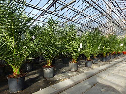 SONDERPREIS: Palme 100 - 130 cm, Phoenix canariensis, kanarische Dattelpalme, kräftige Palmen, keine Jungpflanzen