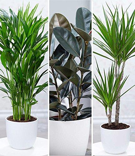 """BALDUR-Garten Zimmerpflanzen-Mix\""""XXL\"""", 3 Pflanzen 1 Pflanze Areca Palme, 1 Pflanze Gummibaum Abidjan und 1 Pflanze Dracena Marginata"""