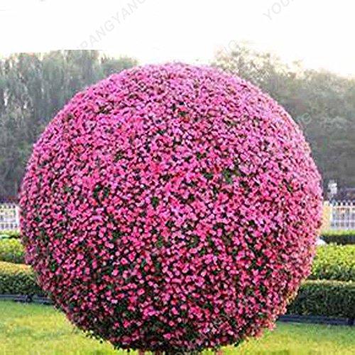 Heirloom Pétunia 50pcs Graines de fleurs Bonsai Graines de fleurs avec le pack professionnel Illuminez votre jardin de nouvelles fleurs faciles à cultiver Violet