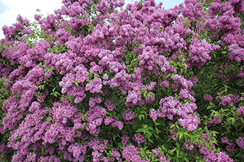 Potted Purple Old Fashion Lilac Bush - The Most Fragrant Lilac - 14-20' Tall
