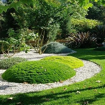 Irish Moss Ground Cover Seeds  Sagina Subulata  200+Seeds  200+