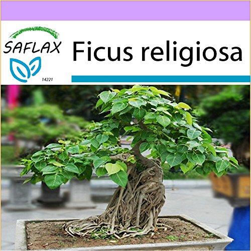 SAFLAX - Fico sacro - 100 semi - Ficus religiosa