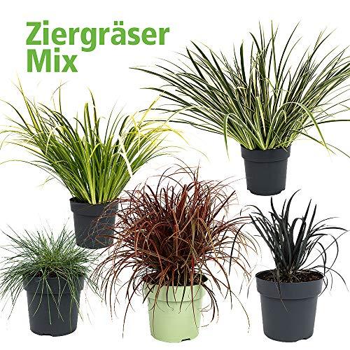 Gräser-Mix Outdoor-Bereich - Ziergräser 5er-Set für Balkon - winterhart- Mahagonigras Kalmus Schwingel Schlangenbart (Gräser-Mix, 5er-Set)