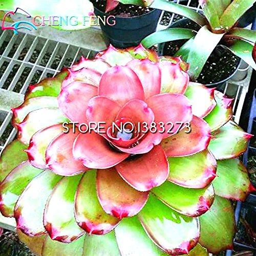 100 / bag broméliacées Graines mixtes plantes couleur de cactus pour le jardin Growing Ananas graines de fruits bonsaï planteur semences de ferme tropicale
