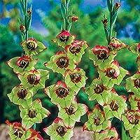 秋植え球根 グラジオラ球根 多年生の花、植物の球根-8球根