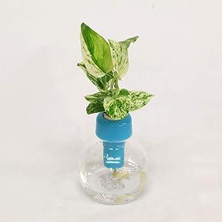 ミニ観葉植物「ポトス」と プラスチック製カラフル容器 青 1個セット 【2個買いでお得】【土なし 清潔 水やり簡単 セラハイト】