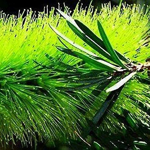 VERDE BOTTIGLIA PENNELLO, Callistemon viridiflorus 100 semi