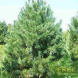 Southwestern White Pine Pinus Strobiformis - 5 Seeds.