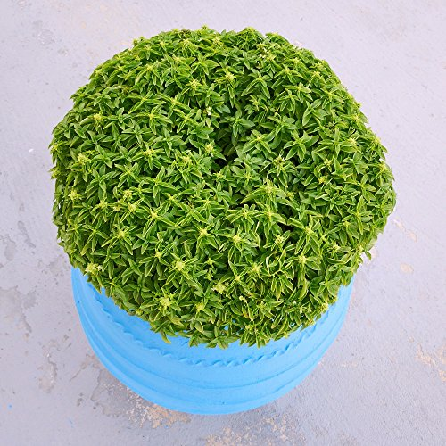 Basil Minette Graines - Ocimum Basilicum