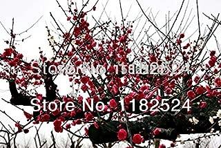 20 SEEDS - Chimonanthus Praecox - Wintersweet - Fragrant Winter Flower plant tree seeds
