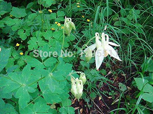 Promotion perte! 30pcs / Paquet pourpre élégant univalve Géranium Graines vivaces Graines de fleurs Pelargonium peltatum pour chambres d'intérieur, #