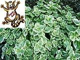 Dominik Blumen und Pflanzen, 'Verpiss-Dich®'- Pflanze, Harfenstrauch, Plectranthus,  4  Pflanzen,  10,5 cm Topf, plus 1 Paar Handschuhe gratis