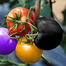 Colorful Rainbow Tomato Seeds 100+Seeds Bonsai Fruit and Vegetable Seeds Non-GMO Potted Plants for Home Garden