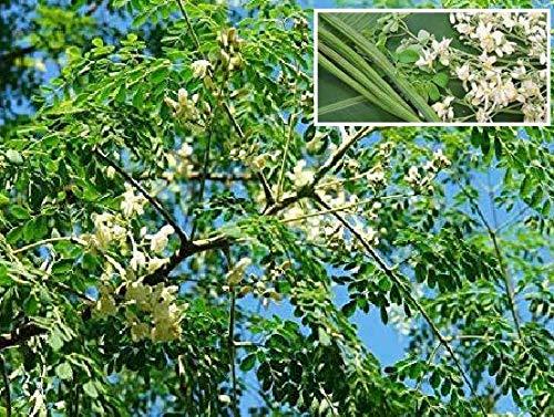 Alick 100 semillas de hortalizas Futaba Moringa (baqueta)