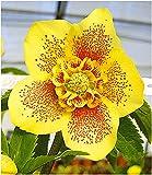 BALDUR-Garten Christrosen 'Hantay', 1 Pflanze, Helleborus