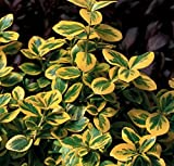 Gold Splash Euonymus fortunei - 4' Pot - Wintercreeper - Proven Winners