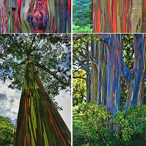 50 Stück Garten Regenbogen Eukalyptus Samen, Pflanzen Hawaii Regenbogen Eukalyptus Samen Einfach Wachsen Dekoration Baum