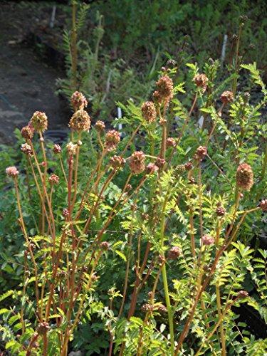 Sanguisorba minor - Kleiner Wiesenknopf, 24 Pflanzen im 5/6 cm Topf