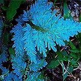 Beautytalk-Garten 50pcs Selten Farn Samen Zierpflanzen winterhart mehrjaehrig Pteridophyta seltener Buntes Blattgras