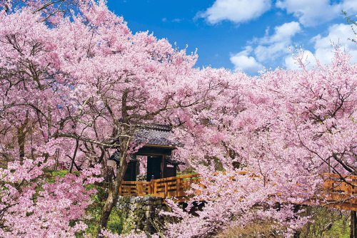 1000 pieza cerezo de flores rompecabezas Takato Castle Park Nagano Objetivo principal rompecabezas (50x75cm)