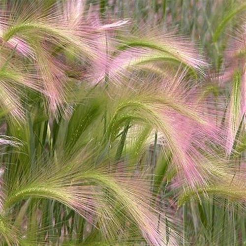 Frais 1000 graines - Hordeum jubatum graminée Graines