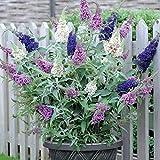 Buddleja Buzz 3 in 1 Plant