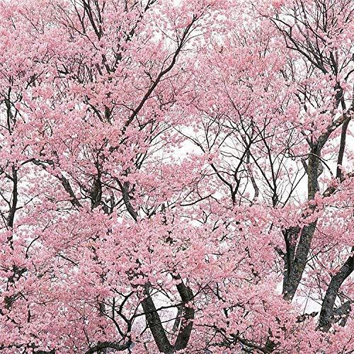 perenne Resistente Semillas,Cerezo japonés Simple Cerezo Rojo Chino Cerezo de Doble Flor Cerezo Americano Cerezo de Invierno Cerezo Rojo-Japón_1kg,Planta Maceta Semillas