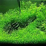 2016 Nuevos 1000 Semillas piezas planta de acuario de agua, semillas de la planta acuática hierba ornamental, muy fácil de crecer plantas de semillero 2