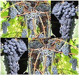 riverbank grape wine