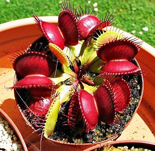 Venus Fly Semi Trappola Flower Dionaea muscipula Giant Giardino clip Piante HEIRLOOM 10 Semi