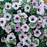 Fiori blu piante (Plug) perennials per appendere cestini, contenitori, fioriere da finestra e aiuole da giardino