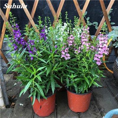 100pcs Belles aromatiques gypsophile Graines vrai étoilées fleurs en pot Gypsophila paniculata All Over The Sky 2 étoiles Bonsai Fleur
