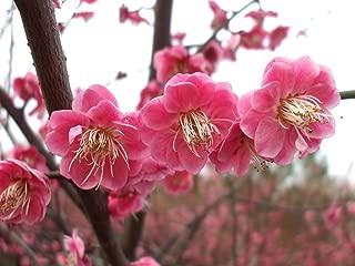 Go Garden New Home Garden Plant 5 pcs Japanese Apricot Chinese Plum Blossom Prunus Mume Wintersweet Flower Tree bonsais