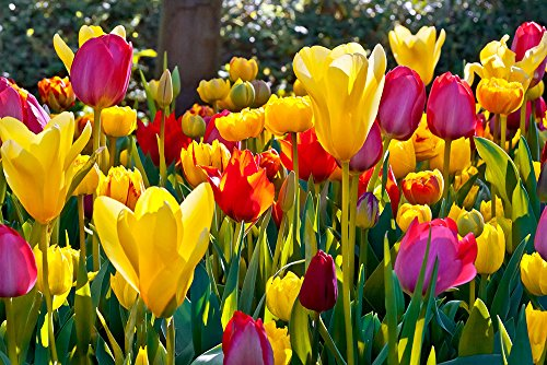 Tulipa Mix - Tulip Mix - 5 bulbess