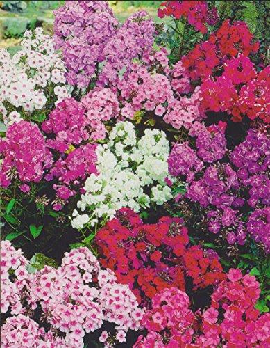 """Hoher Phlox paniculata gemischt Flammenblume""""5 Wurzelstöcke"""" Winterhart Staude"""