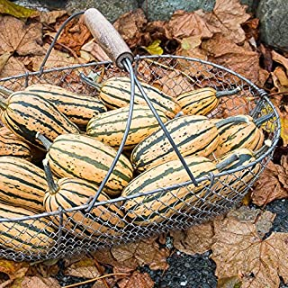 Honeyboat Delicata Winter Squash - Certified Organic Seeds (50)