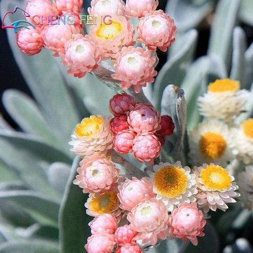Green Seeds Co. 50 Stück Regenbogen Chrysantheme Blume Pflanzen seltene Farbe Immortelle DIY Hausgarten Blume Pflanze einfach wachsen beste Geschenk für Mutter: Grün