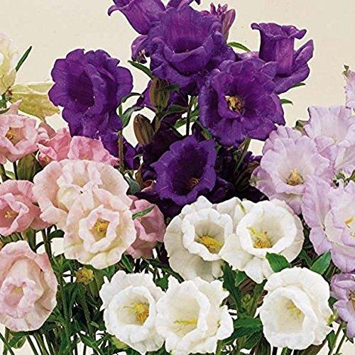 200 Graines semence fleur campanule à grosses fleurs doubles mélangés campanule medium blanche violet rose