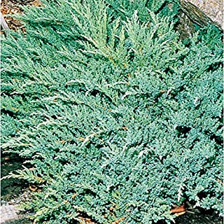 Best juniperus prince of wales Reviews