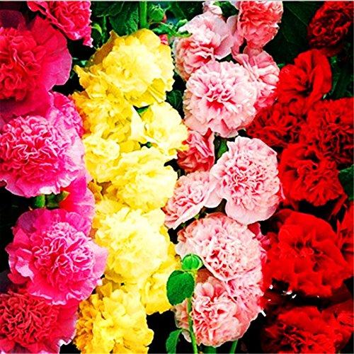 100 Pcs Hot trémière Seeds (Alcea rosea « Nigra ») Couleur mixte extérieur Fleur des plantes Graines de jardin Maison Décoration Embellir 1