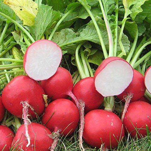 Français petit déjeuner Radis Heirloom Seeds saveur non OGM délicieux Gourmet Long (100)